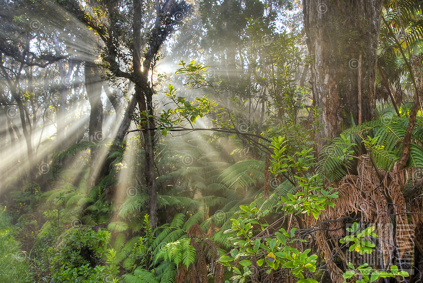 Streams of light rays pour through the rainforest at Hawai'i Volcanoes National Park, Big Island of Hawai'i.