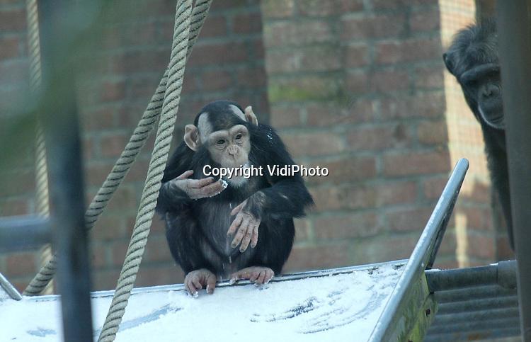 Foto: VidiPhoto..AMERSFOORT - Chimpansees proeven vrijdag van de vers gevallen sneeuw en ijs in Dierenpark Amersfoort. De dieren mogen met deze kou slechts enkele uren per dag naar buiten, ondanks dat ze dol zijn op het koude goedje. Met smaak wordt er van gegeten en gelikt. Maar niet te lang, want dat is niet goed voor hun gezondheid.