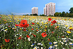 Cornfield annual summer wildflowers growing in urban, inner city setting, Old Rough, Kirby, Knowsley, Liverpool, UK