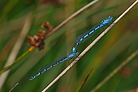 Becher-Azurjungfer, Becherazurjungfer, Azurjungfer, Tandem, Paarung, Kopulation, Kopula, Enallagma cyathigera, Enallagma cyathigerum, common blue damselfly, common bluet damselfly, pairing, copulation, Agrion porte-coupe