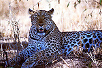 Leopard Panthera pardus sitting under acacia tree in shade from sun Africa big cat.Kenya....