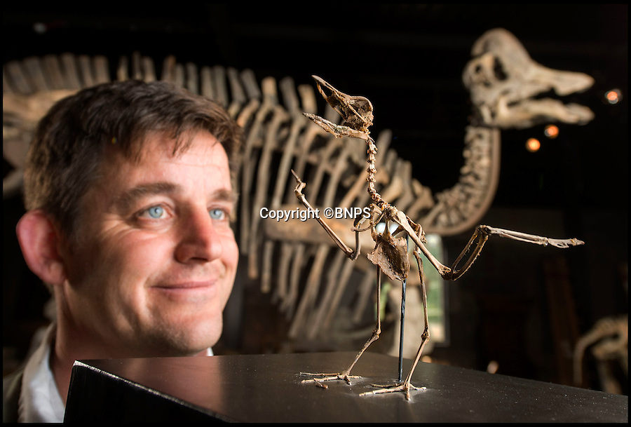 BNPS.co.uk (01202 558833)<br /> Pic: PhilYeomans/BNPS<br /> <br /> Sold for £4000 - Large bill for fossilised seagull dino.<br /> <br /> Fancy a duck billed dino for your living room...? - Auctioneer Rupert van der Werff with a 180 million year old 'Statement piece'.<br /> <br /> The contents of a closed down natural history museum has been auctioned off in a once-in-a-180 million year lifetime sale today.<br /> <br /> The collection of old dinosaur bones and fossils had been displayed for years at the internationally-acclaimed Emmen Zoo in Holland.<br /> <br /> The highlight of the sale to be held in West Sussex is the complete skeleton of a 25ft long harpocrasaurus or a duck-billed dinosaur which dates back to 75 million years ago.