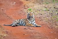 Bengal tiger, Panthera tigris tigris, resting on the dirt road, Tadoba Andhari Tiger Reserve, Tadoba Andhari National Park, Chandrapur, Maharashtra, India