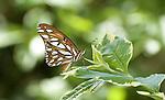 Gulf Fritillary Butterfly.Agraulis vanillae.August 12, 2008. Fitzroy Barrett