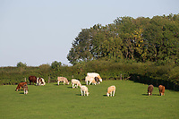 14.9.2020 Beef cattle grazing in Rutland  <br /> ©Tim Scrivener Photographer 07850 303986<br />      ....Covering Agriculture In The UK.