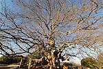 Israel, the Upper Galilee. Atlantic Pistachio (Pistacia Atlantica) tree in Kadesh valley