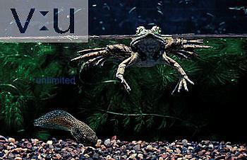 Green frog and tadpole ,Rana clamitans,