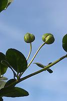 Gewöhnlicher Kapernstrauch, Kapern-Strauch, Kaper, Kapern, Essbare Knospen, Capparis spinosa, Caper Plant, Câprier