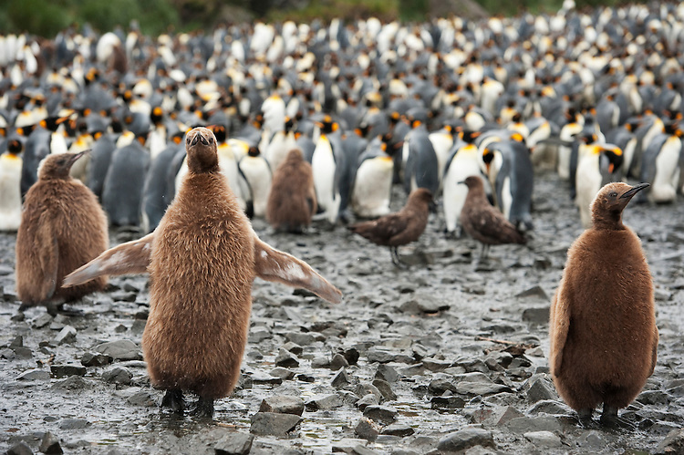 King Penguin chicks (Aptenodytes patagonicus) , South Georgia