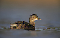 Least Grebe, Tachybaptus dominicus,immature, Willacy County, Rio Grande Valley, Texas, USA, May 2004