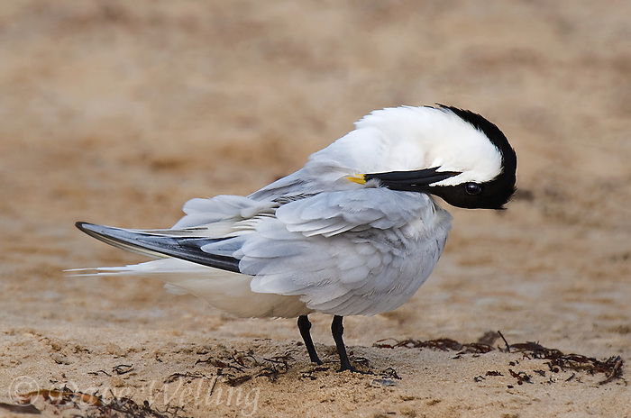 581790002 a wild adult sandwich tern thalasseus sandvicensis in breeding plumage preens on boca chica beach along the texas gulf coast