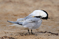 581790002 a wild adult sandwich tern thalasseus sandvicensis in breeding plumage preens on boca chica beach along the texas gulf coast