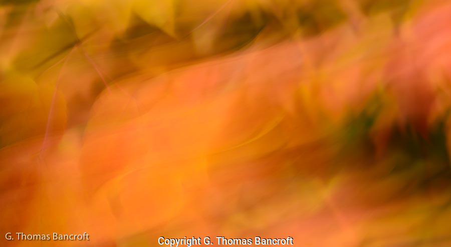 The brillant reds and yellows of the vine maples creates an interesting pattern.  I made a fine art abstract of the scene by moving the camera during the picture.  The lines and swirls of color are fascinating.
