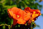 Bignoniaceae - Trompetenbaumgewächse
