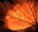 Autumn Leaf, backlit glow. FE effect with Photoshop