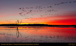 Snow Geese, Dawn Flyout, Bosque del Apache Wildlife Refuge, New Mexico