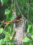 Baltimore Oriole (Icterus galbula) female at nest, Ithaca, New York, USA,<br /> Slide # B166-186