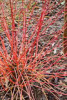 Cornus sanguinea Anny's Winter Orange in orange red winter stems, redtwig dogwood bush shrub. Newly listed as AGM