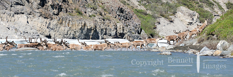 A group of caribou swims across the Hulahula River Canyon in Alaska's Arctic National Wildlife Refuge on a summer day.