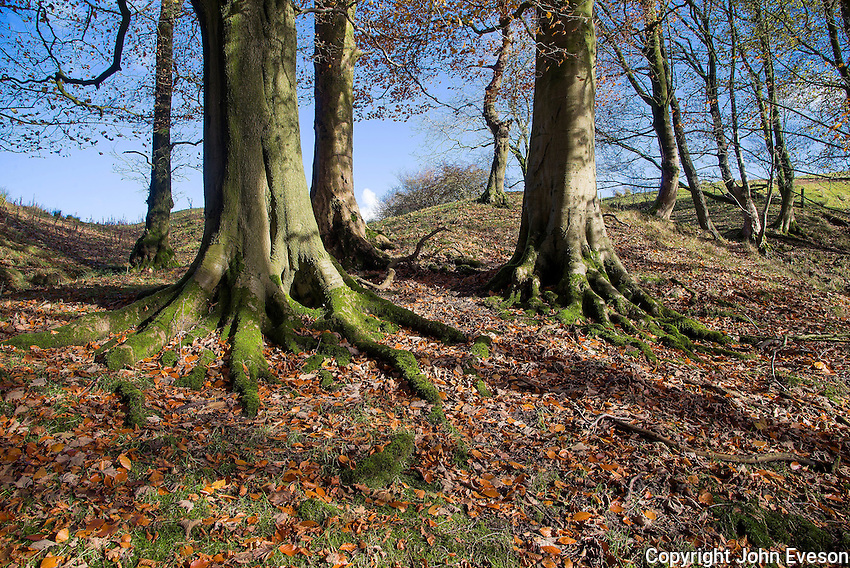 Beech trees and Dinkling Green Brook, Dinkling Green, Whitewell, Clitheroe, Lancashire.