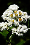 Pearly Everlasting (Anaphalis Margaritacea), coast mountain range, Oregon