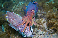 Australian Giant Cuttlefish, Sepia apama, a pair of mating Cuttlefish. The male spends some minutes jetting out competitors sperm packets before giving the female his own, Whyalla, South Australia, Australia, Southern Ocean