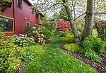 Vashon-Maury Island, WA: Perennial garden featuring golden Japanese forest grass bing cherry tree, hosta<br />  and rhododendron