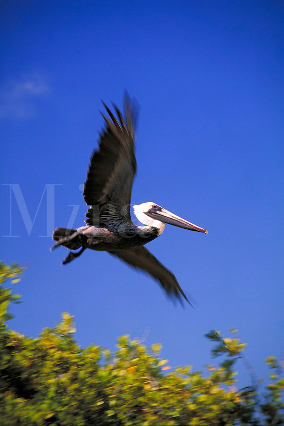 Pelican in flight over seagrape tree. Caribbean.