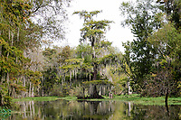 Cypress Trees at Lake Verret