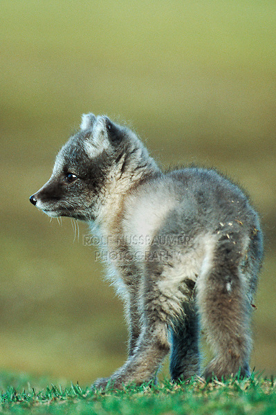 Arctic fox (Vulpes lagopus),  young, Svalbard, Norway, Arctic
