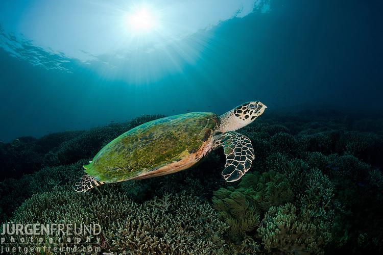 Hawksbill turtle (Eretmochelys imbricata) in the reef