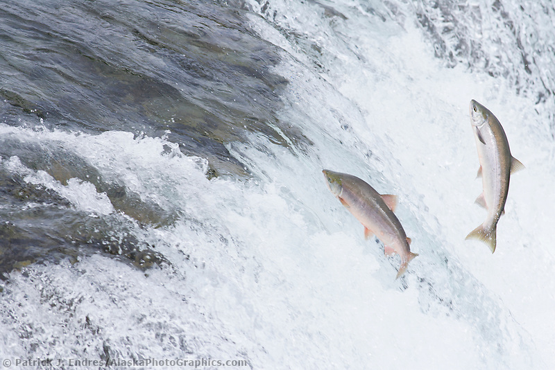 """Red salmon """"sockeye"""" leap up the falls of Brooks River."""
