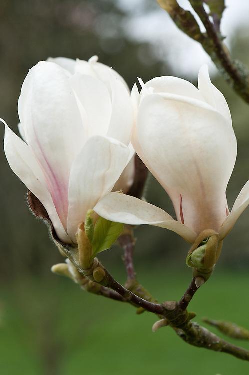 Magnolia x soulangeana 'Superba', late March.