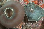 Fahala Giri, Kalhufahalafushi Island, Thaa Atoll, Maldives; Corallimorpharian corals (Amplexidiscus fenestrafer), also known as Elephant Ear Anemone