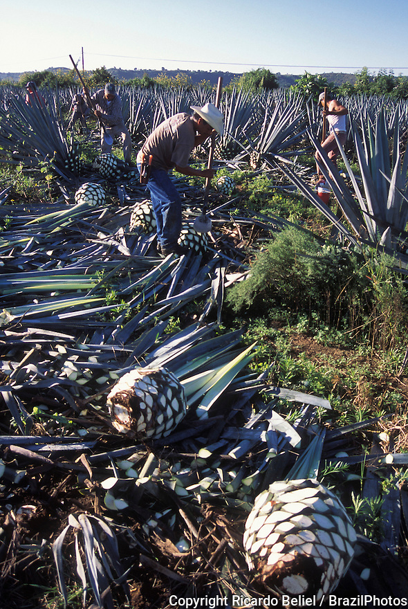 Blue agave pine-cone harvesting ( pina ), known as jima - blue agave ( agave azul ) or tequila agave or Agave tequilana is an agave plant that is an important economic product of Jalisco State in Mexico, due to its role as the base ingredient of tequila, a popular distilled beverage - the high production of sugars, mostly fructose, in the core of the plant is the main characteristic that makes it suitable for the preparation of alcoholic beverages - tequila is produced by removing the heart ( pine-cone or piña) of the plant in its twelfth year – harvested piñas normally weigh 80–200 pounds (40–90kg) - this heart is stripped of its leaves and heated to remove the sap, which is fermented and distilled. Tequila Valley, Jalisco State, Mexico.