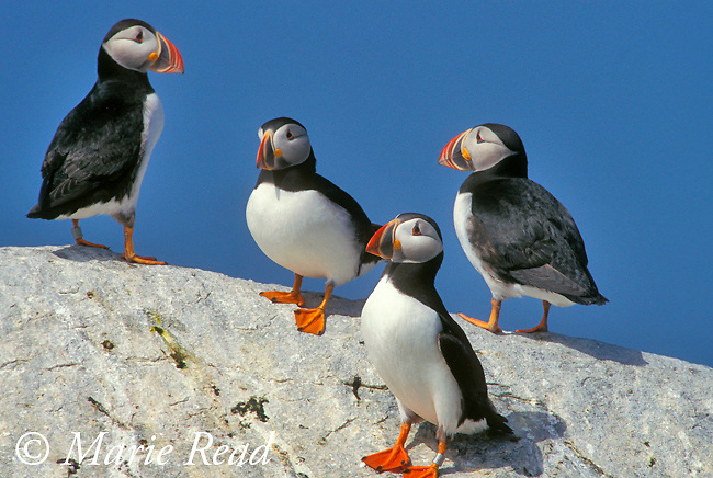 Atlantic Puffins (Fratercula arctica), group of four perching on a rock, MachiasSeal Island, NB/ME, USA/Canada<br /> Slide # B62-183