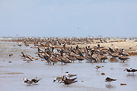 Huge flocks of Brown Pelicans (Pelecanus occidentalis) loafing on the western remnant of Raccoon Island. Terrebonne Parish, Louisiana. July 2010.
