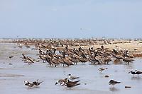 Huge flocks of Brown Pelicans (Pelecanus occidentalis) loafing on the western remnant of Raccoon Island. Terrebonne Parish, Louisiana. July 2010.