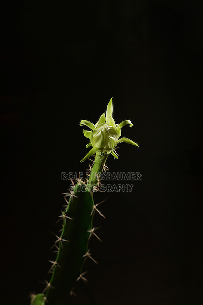 Night-blooming Cereus, Barbed-wire Cactus (Acanthocereus tetragonus), flower bud opening at night, time lapse, series, Texas, USA