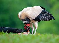 King Vulture, Sarcoramphus papa, and Black Vulture, Coragyps atratus, feeding on an animal carcass, Costa Rica
