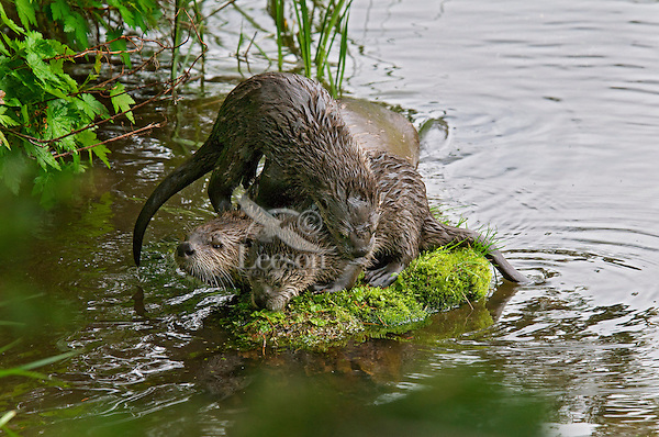 Northern River Otters (Lontra canadensis) family--mother and pups--play on moss covered rock along edge of lake.  Western U.S., summer..