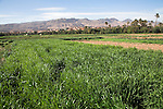 Irrigated fields, Tinerhir, Morocco. A Berber oasis town on the south eastern foothills of the Atlas Mountains on the fringe of the Sahara desert.