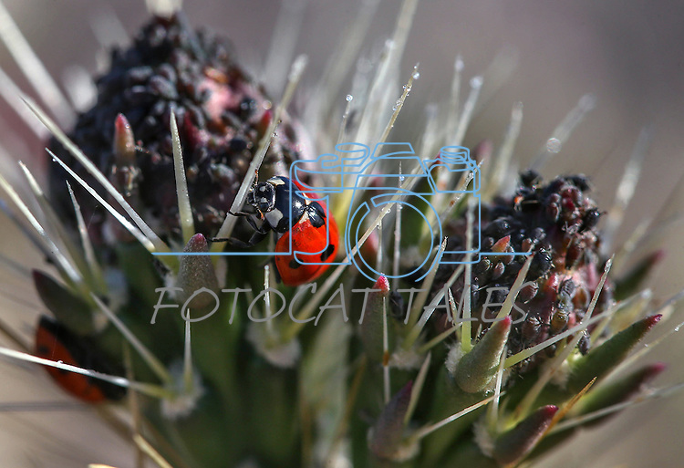 A ladybug works in a cactus bloom in Death Valley, Ca., on Tuesday, March 15, 2016. <br />Photo by Cathleen Allison