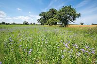 Phacelia in a field corner - Norfolk, July