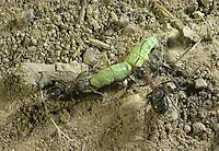 Wood Ants - Formica rufa with caterpillar prey