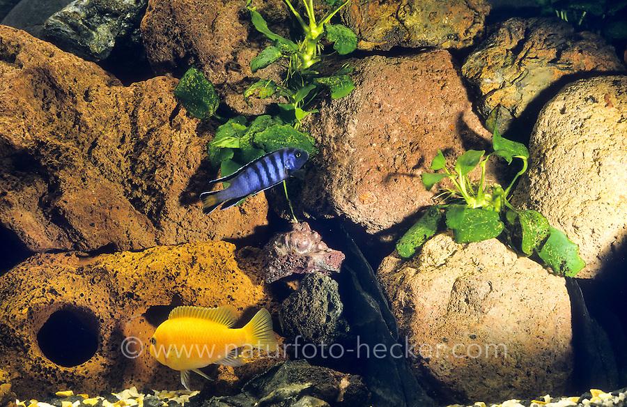 Eingerichtetes Aquarium, Gesellschaftsbecken, Warmwasseraquarium, tropisches Süßwasser-Aquarium, aquarium, fish tank. Buntbarsch-Becken, Malawisee-Becken mit Buntbarschen, Höhlen und Steinen.