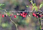 Berries seen in the Esopus Bend Nature Preserve in Saugerties, NY, on Saturday, November 11, 2017. Photo by Jim Peppler. Copyright/Jim Peppler-2017.