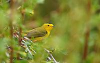 Warbler - Wilsons