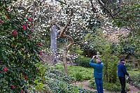 Visitors admiring Magnolia denudata, Yulan Magnolia, white flowering winter tree in the Moon Viewing garden in San Francisco Botanical Garden