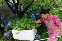 Farmer Yukiyo Nishkage harvests maple leaves, Kamikatsu, Katsuura, Tokushima Prefecture, Japan, July 7, 2014. The Irodori Project is based in the mountain town of Kamikatsu, Tokushima Prefecture. Farmers - many of them elderly - grow leaves and flowers to use to decorate Japanese food in restaurants and hotels across the nation.